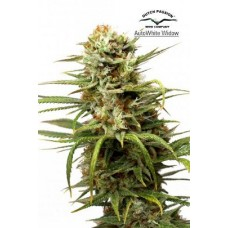 AutoWhite Widow Feminised 3 kom D.P.