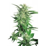 Big Bud Feminised 5 kom S.S.