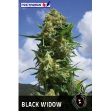 Black Widow Feminised 5 kom POS