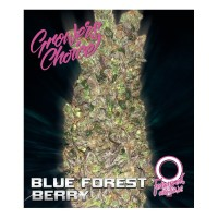 Blue forestberry feminized auto 3 kom. G.C.
