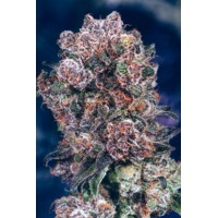 BLUEBERRY fem 3 kom. D.P.