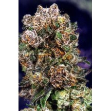 BLUEBERRY REG. 10 kom. D.P.