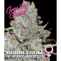 Bubblegum x at HOG fem 3 kom. G.C.