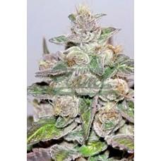 Mendocino Purple Kush 5kom med.