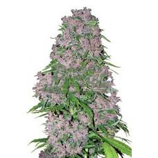 Purple Bud Feminised 3kom wls