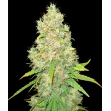 SUGAR BLACK ROSE f1 5 kom. DEL.S.