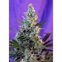 Sweet Skunk F1 Fast Version 25kom. SWS